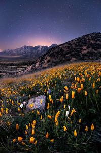 Poppies Sleeping Under The Stars