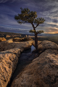 Lonely New Mexico Pine