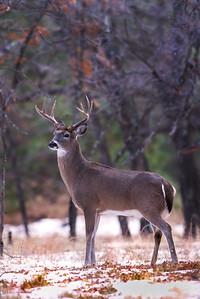White tail buck in the Sacramento Mountains New Mexico