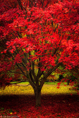 Red and Yellow, Japanese Red Maple, Westonbirt Arboretum, Gloucestershire, England