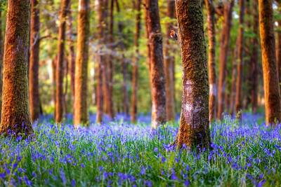 European Robin, Bluebells, Soudley, Gloucestershire, Forest of Dean, England