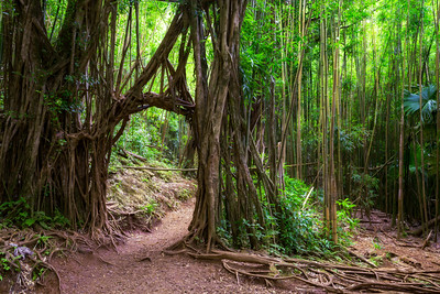 Bamboo Forest, Forest Walk, Manoa, Honolulu, Oahu, Hawaii, America