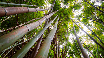 Bamboo Forest, Manoa, Honolulu, Oahu, Hawaii, America