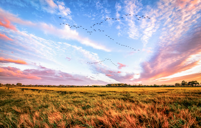 Dramatic Sunset and Canada Geese flying over a field in Herefordshire, England