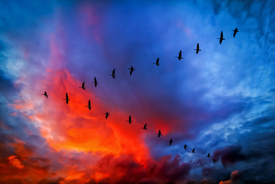 V-Formation, Canada Geese flying through a dramatic sky at Hereford, England