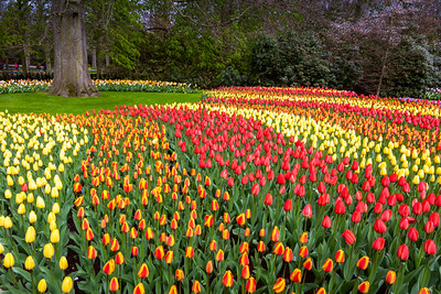 Tulips, Amsterdam, Holland