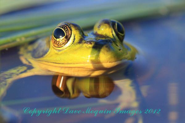 Mink Frog- Phantom Lake