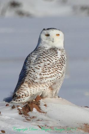 Snowy Owl #2- Maple Grove