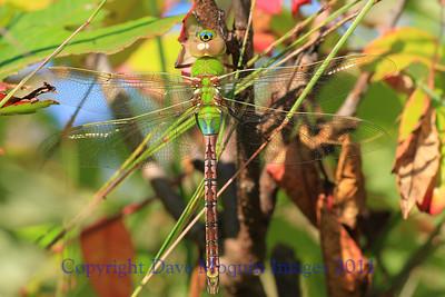 Common Green Darner- Springbrook Nature Center