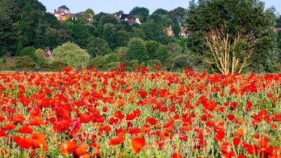 Poppy Field, Rye, East Sussex, England