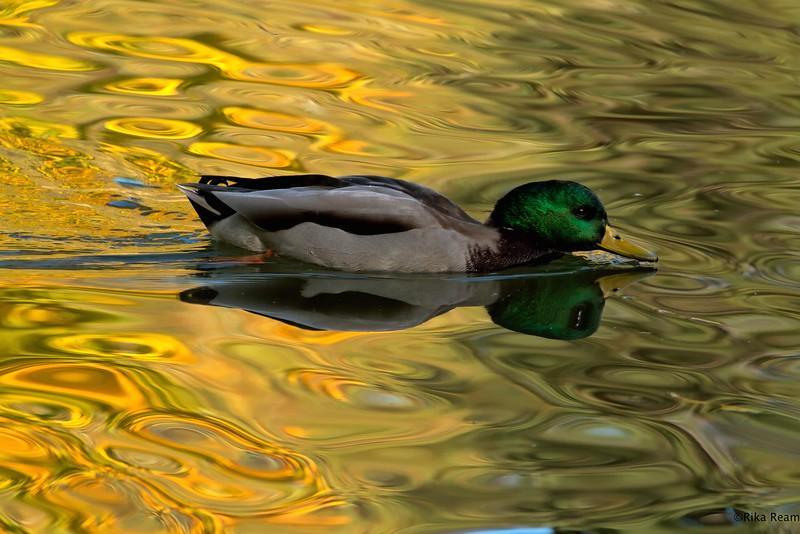 Mallard floating in liquid color