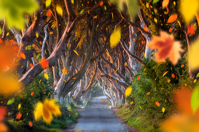 The Dark Hedges, Falling Leaves, Ballymoney, Northern Ireland