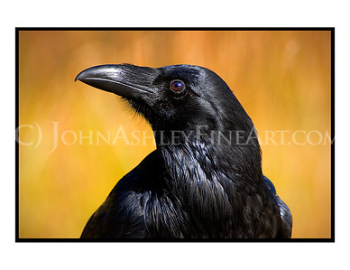 """Curious Raven"" note card"