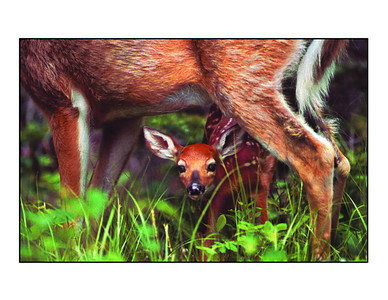 """Curious Fawn"" note cards"