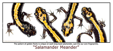 """Salamander meander"" post card"