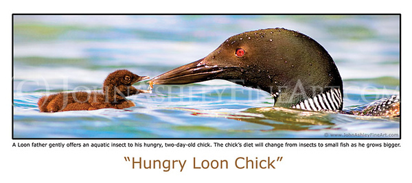 """""""Hungry Loon Chick"""" post card"""