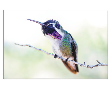 """Costa's Hummingbird"""