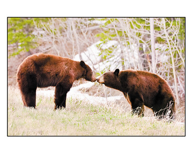 A male black bear (right) tip-toes up and introduces himself to a female before sunrise in the Lee Creek drainage of Glacier National Park.