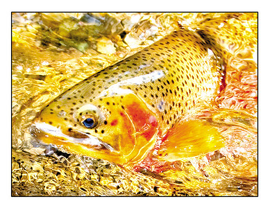 """Rising Trout"" note card"