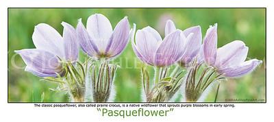 """Pasqueflower"" post card"