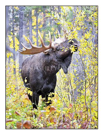 """Autumn Moose"" note card"