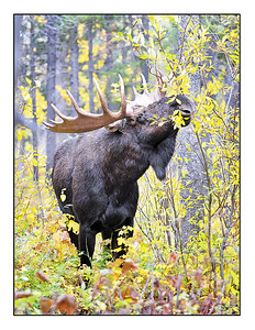 """Autumn Moose"" note card"