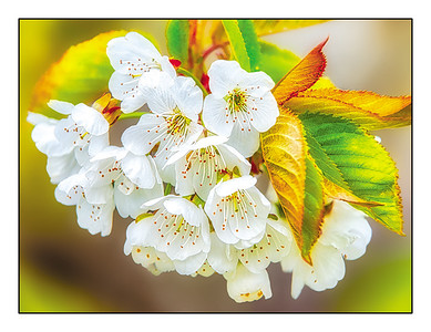 """Flathead Lake Cherry Blossoms"" note card"