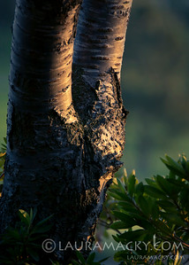 Tree in the Evening Light