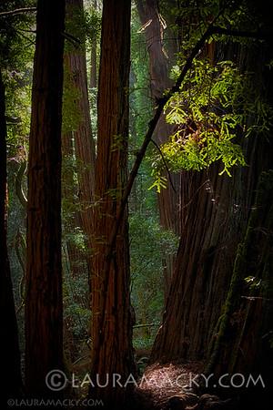 Muir Woods (Marin County, California)