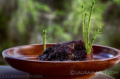 Redwood Burl from Muir Woods