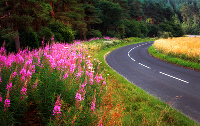 Fireweed by the Roads around Wells, Somerset, England