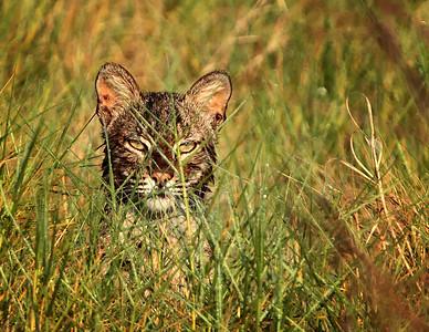 Bobcat_01