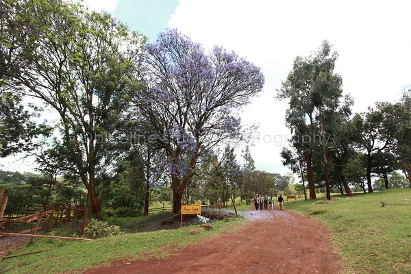 Purple jacaranda trees