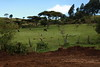 Kericho Tea fields-020