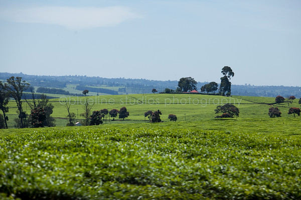 Kericho Tea fields-006