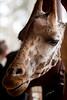 Giraffe Ctr-048