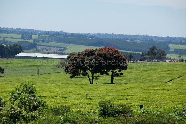 Kericho Tea fields-015