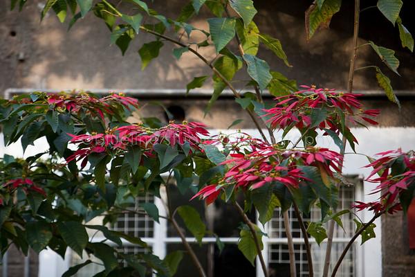 poinsettia's grow as trees in Kenya.