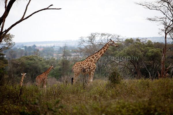 Giraffe Ctr-005