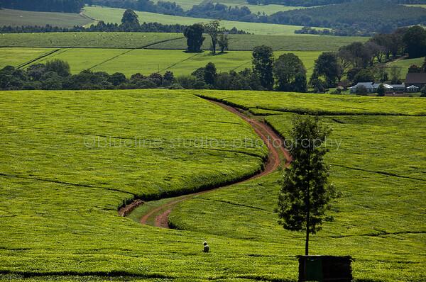Kericho Tea fields-004