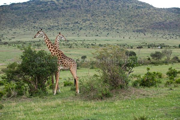Safari-052