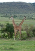 The amazing dancing giraffes
