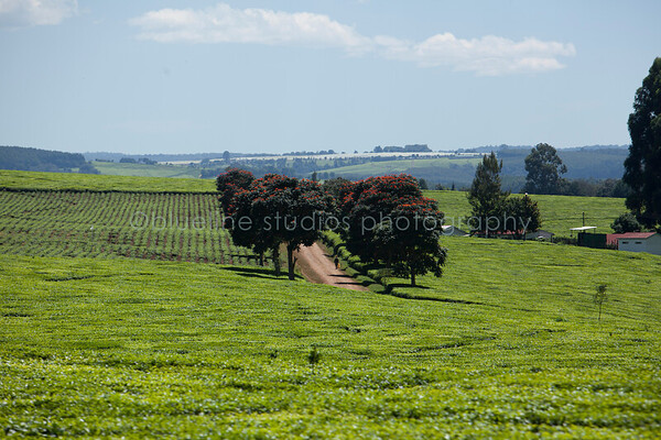 Kericho Tea fields-008