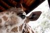 Giraffe Ctr-027