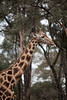 Giraffe Ctr-007