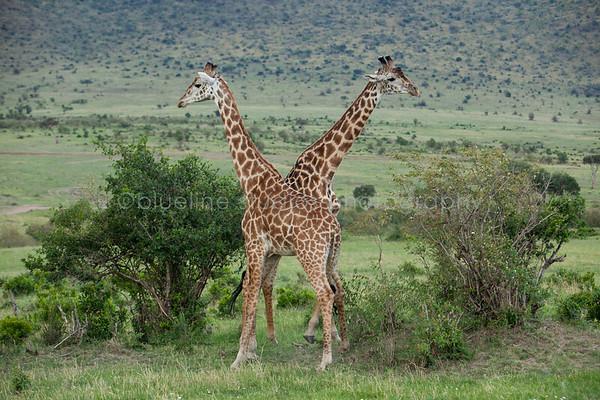 Safari-034