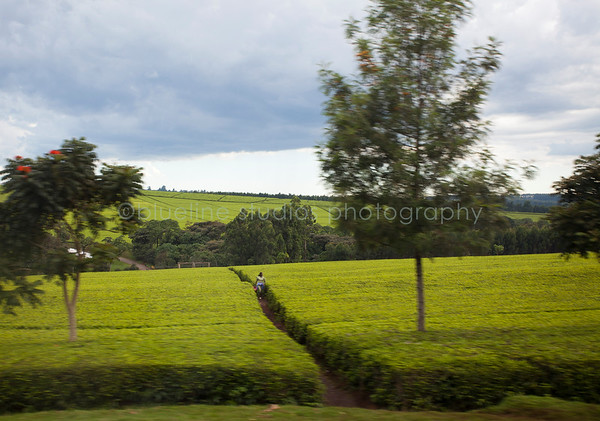 Kericho Tea fields-027