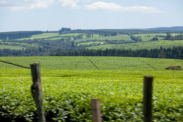 Kericho Tea fields-017