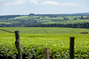 Kericho Tea fields-017