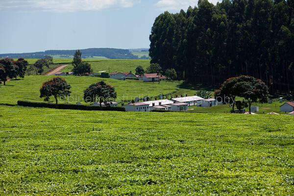 Kericho Tea fields-009